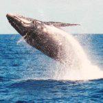 Whale Watching Aboard <em>America</em>